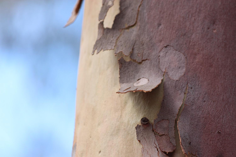 peeling tree